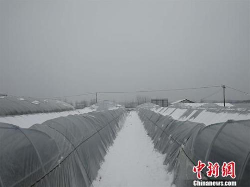 資料圖:湖北紅安縣,持續低溫雨雪天氣易造成蔬菜等農作物受凍或生長緩慢。 孫勇 攝